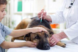 Perros vacunados