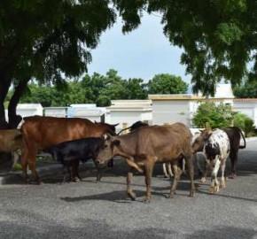vaca-en-cementerio